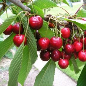 English in the News--Cherry-picking 精挑細選